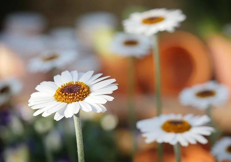 stokrotka kwiaty jadalne ciekawostki