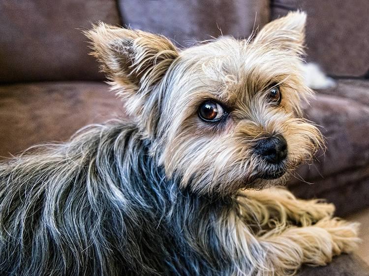 Yorkshire terrier pies rasy psów ciekawostki