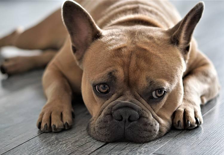 buldog francuski pies rasy psów ciekawostki