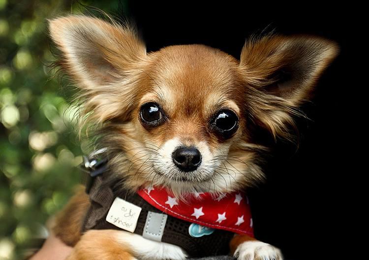 chihuahua pies rasy psów ciekawostki