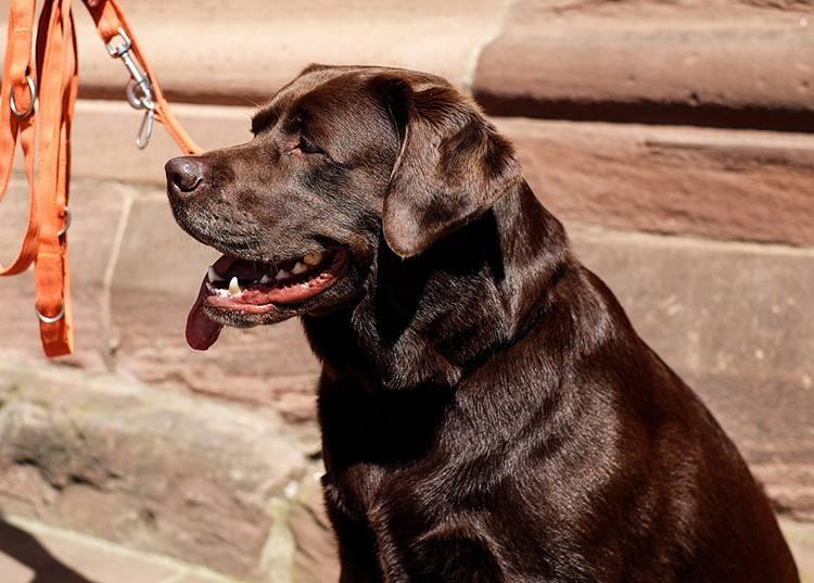 labrador retriever pies rasy psów ciekawostki