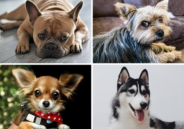 najpopularniejsze rasy psów Polska ciekawostki