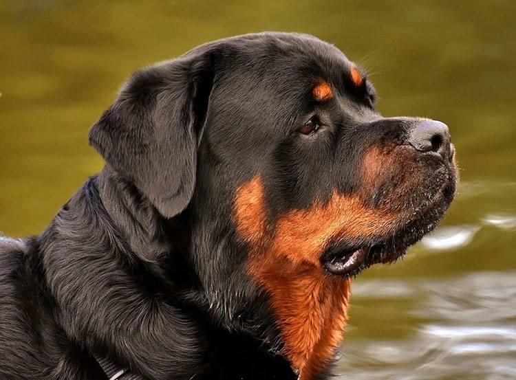 rotweiler pies rasy psów ciekawostki