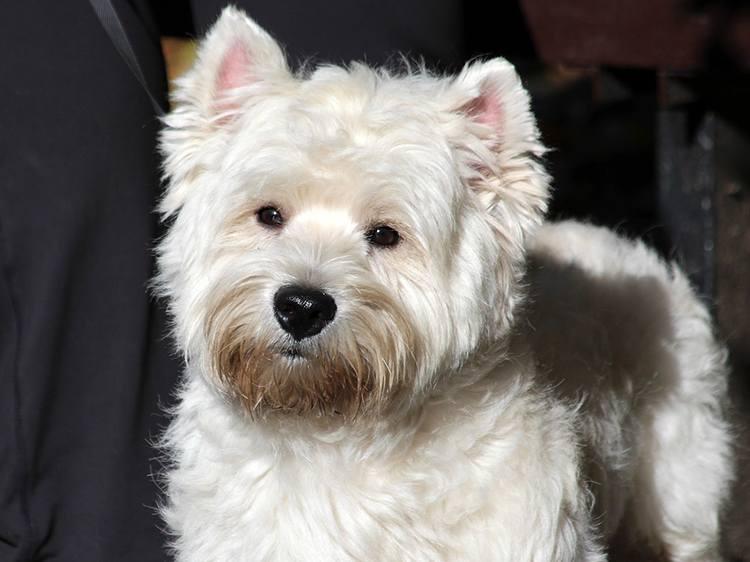 West Highland pies rasy psów ciekawostki