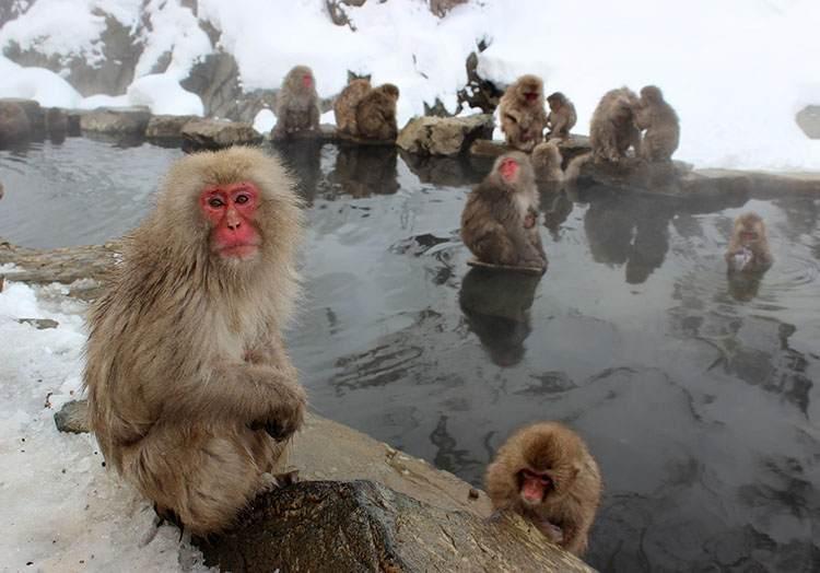 małpy morsowanie zalety zima kąpiel pływanie ciekawostki