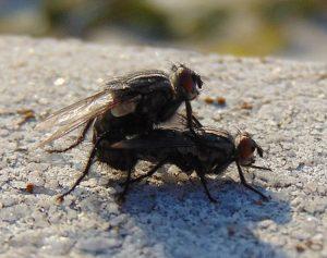jak kopulują muchy kopulacja samica kopulowanie rozmnażanie