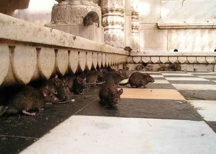 Świątynia Szczurów Indie szczury biura podróży ciekawostki destynacje