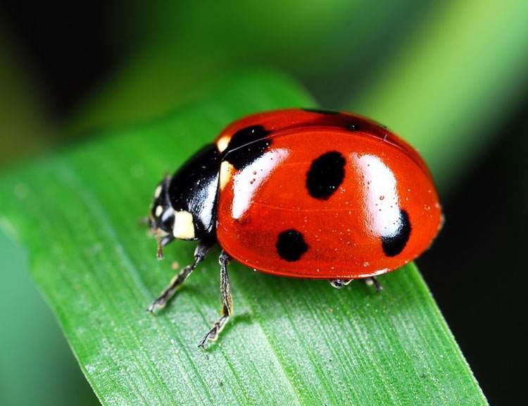 biedronka ciekawostki owady biedronki informacje