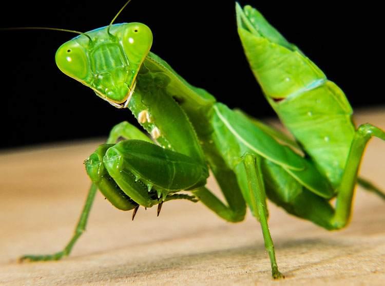 modliszka ciekawostki owad modliszki