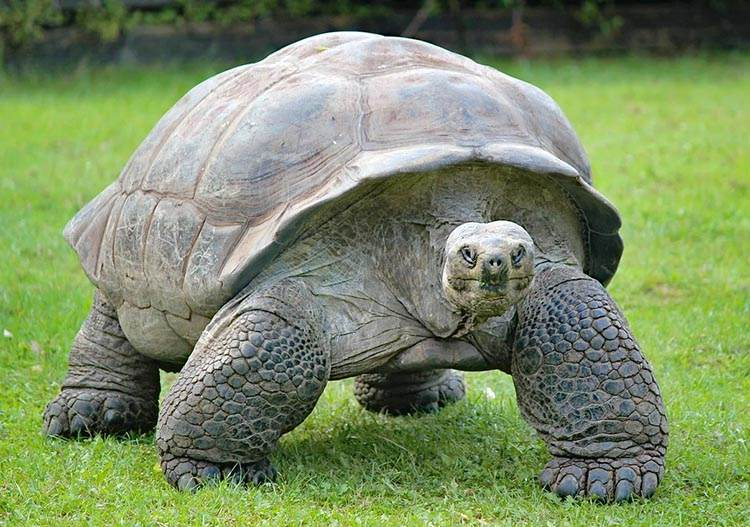 ogromny stary żółw lądowy