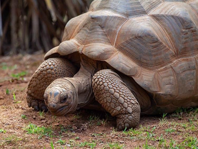 skorupa żółwia żółw lądowy