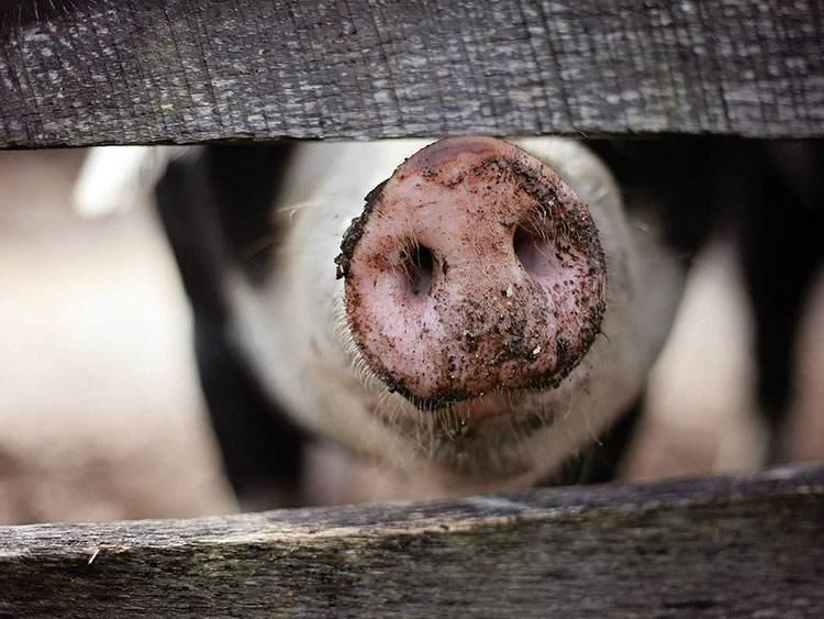 świnia ryjek nos świński ryj