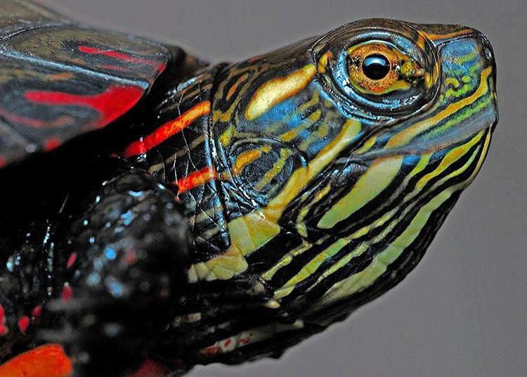 żółw kolorowy żółwie ciekawostki informacje
