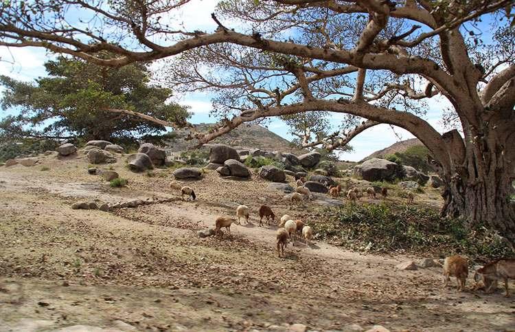 drzewo zwierzęta Erytrea ciekawostki Afryka