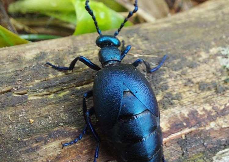 owad oleica krówka owady ciekawostki