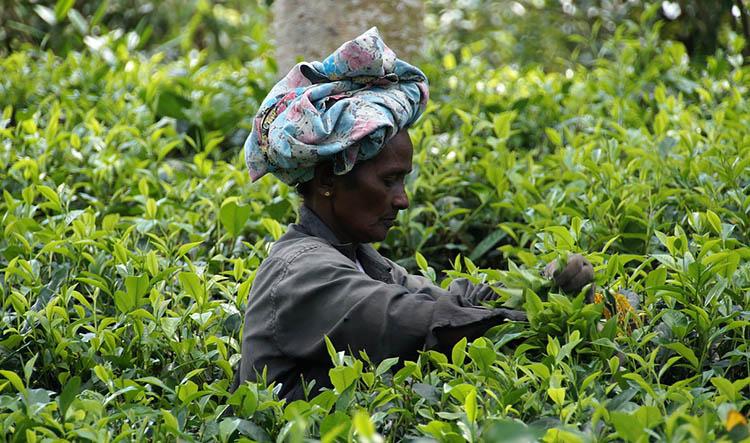 herbata plantacja herbaty Sri Lanka ciekawostki o Sri Lance
