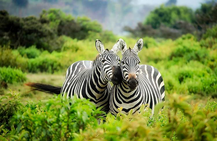 Kenia safari w Kenii Afryka