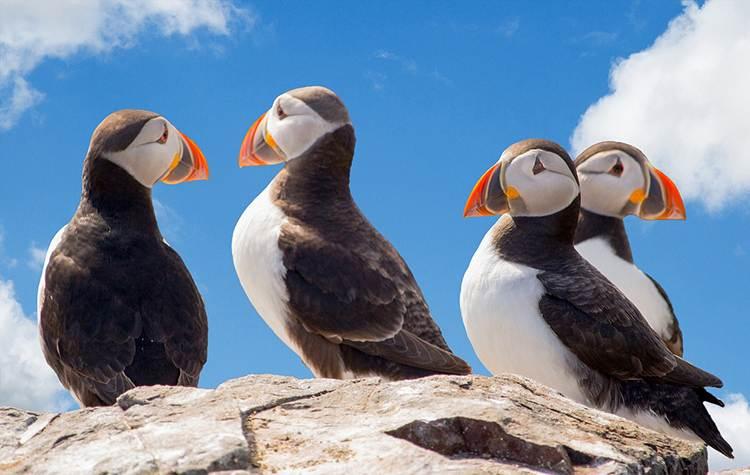 maskonury ptaki Islandia ciekawostki